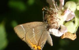 W-album butterfly