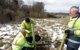 Elm conservation